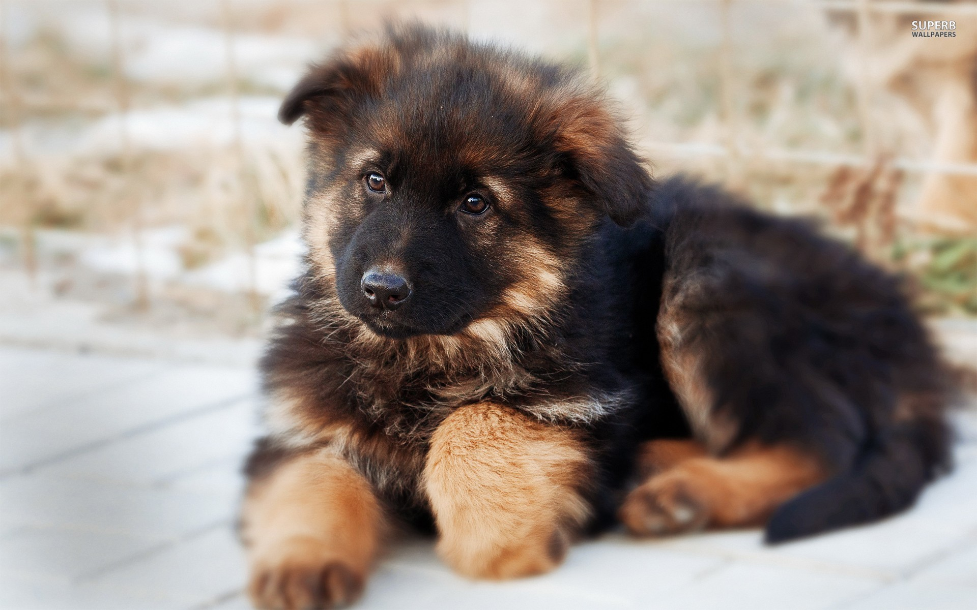 All You Need To Know About The German Shepherd Dog Georgian Shepherd Puppies
