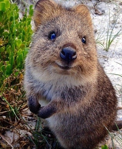 Baby quokka smiling - photo#25